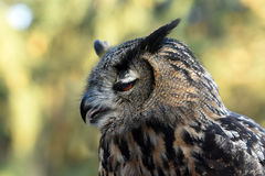 Eagle owl. Portrait of an eagle owl royalty free stock photography