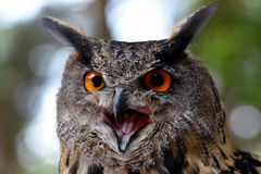 Eagle owl. Portrait of an eagle owl royalty free stock image