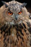 Eagle owl. Portrait of American eagle owl Royalty Free Stock Photo