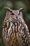 Eagle Owl. Portrait of a big Eagle Owl taken in Italy Stock Images