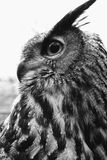 Eagle Owl Portrait Black And White Royalty Free Stock Photography
