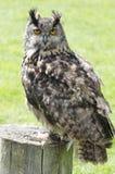 Eagle owl portrait. Portrait of captive eagle owl perched on log Royalty Free Stock Photo