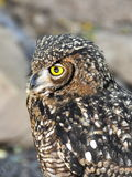 Eagle-owl Stock Photos