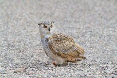 Eagle owl Portrait Stock Photos