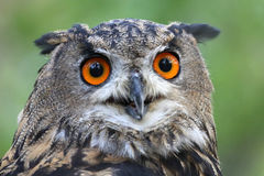 Eagle Owl Portrait Stock Image