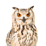 Eagle owl portrait. Isolated on a white background seen in front facing the camera stock images