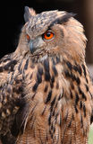Eagle owl. Portrait of eagle owl with red eyes Stock Photography