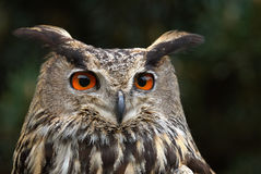 Eagle Owl. Portrait of an eagle owl with red eyes on dark background Stock Photo