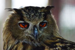 Eagle Owl Portrait With Weird Eyes Lizenzfreies Stockfoto
