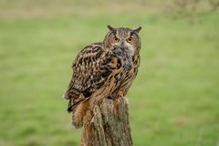 Eagle owl with prey. An eagle owl perched on an old tree stump with prey in its beak and staring directly forward at viewer stock image
