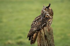 Eagle owl with prey portrait. An eagle owl perched on an old tree stump with prey in its beak and looking into space on the left stock images