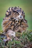 Eagle owl with prey. A very close full length portrait of a eurasian eagle owl with its prey of a rabbit royalty free stock images
