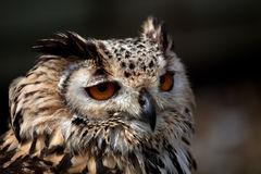 Eagle Owl Profile Stock Image