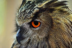 Eagle Owl Profile Portrait Lizenzfreies Stockfoto