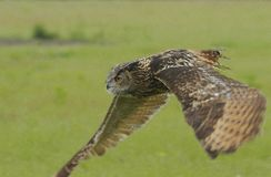 Eagle owl on the prowl Stock Image