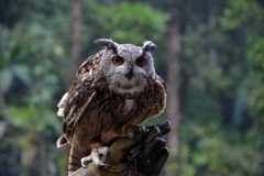 The Eagle Owl. Ready to fly Stock Image