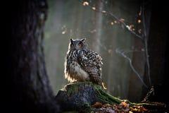 Eagle Owl se está sentando en el tocón de árbol Fotografía de archivo