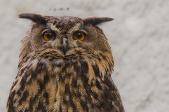 Eagle-Owl searching for prey Royalty Free Stock Photography