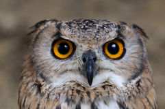Eagle-Owl searching for prey. A Closeup of an Eagle-Owl searching for prey royalty free stock images