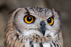 Eagle-Owl searching for prey Stock Image