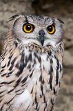 Eagle-Owl searching for prey royalty free stock image