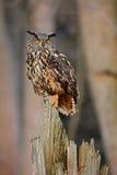 Eagle Owl, seltenes Sitzen des großen Vogels auf dem Stumpf im dunklen Wald, Tier im Naturlebensraum, Norwegen Lizenzfreie Stockbilder