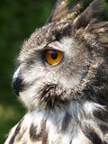 Eagle owl side view Stock Images