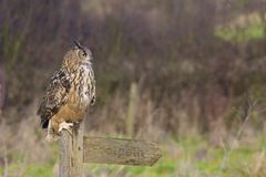 Eagle Owl On Sign Royalty Free Stock Image