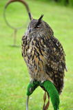 Eagle owl sitting on ring Stock Photography