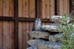 Eagle owl sitting on a stone looking for prey royalty free stock images