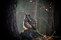 Eagle Owl is sitting on the tree stump. Stock Photography