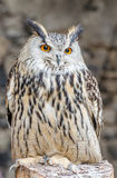 Eagle-owl. Sitting on a tree trunk stock photography