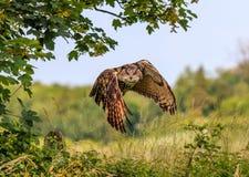 Eagle Owl som lågt flyger Fotografering för Bildbyråer
