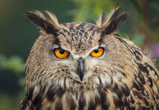 Eagle owl stare Royalty Free Stock Images