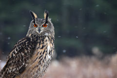 Eagle Owl Staring Royalty-vrije Stock Afbeelding