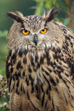 Eagle owl staring. Staring eagle owl with gorgeous orange eyes of fire Stock Photo