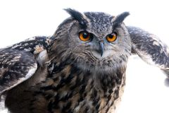 Eagle owl at the start of the flight royalty free stock images