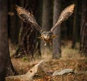 Eagle Owl-Sturzflüge in der niedrigen Jagd Lizenzfreie Stockbilder