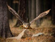 Eagle Owl-Sturzflüge in der niedrigen Jagd Stockfotografie