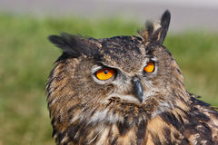 Eagle owl in the sun. Eagle owl on blurred grean background Stock Photo
