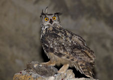 Eagle owl. After months of study and preparation, I got to shoot in several sessions of this magnificent nocturnal bird of prey in the wild Stock Photos