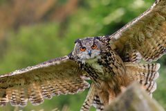 Eagle owl swooping on prey Stock Images