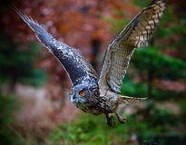 Eagle Owl swoops in low hunting. Royalty Free Stock Images