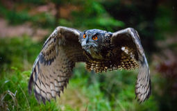 Eagle Owl swoops in low hunting. Royalty Free Stock Photo