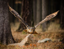 Eagle Owl swoops in low hunting. Stock Photography