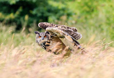 Eagle Owl taking off Stock Photography