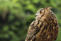 Eagle Owl/un búho de águila Imagen de archivo