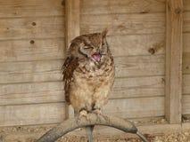 Eagle Owl Vermiculated bonito - cinerascens do bubão, o de assento imagens de stock