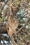 Eagle Owl Royalty Free Stock Photo