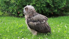 Eurasian Eagle Owl with feathers blowing in wind stock video footage